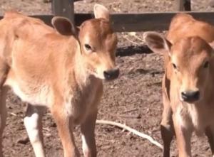 Nascimento de bezerros gêmeos chama à atenção em duas fazendas do Oeste